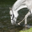 White English Thoroughbred horse in river — Stock Photo #25068379