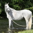 White English Thoroughbred horse in river — Stock Photo #25068381