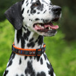 Portrait of beautiful dalmatian bitch — Stock Photo