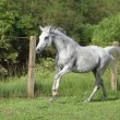 White English Thoroughbred horse in paddock - Stock Photo
