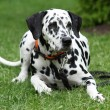 Beautiful dalmatian bitch lying — Stock Photo