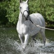 White English Thoroughbred horse in river — Stock Photo #25068599