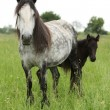 Fell pony mare with foal — Stock Photo