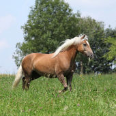 Beautiful haflinger running in freedom while eating grass — Stock fotografie