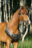 Chestnut arabian stallion with perfect harness — Stock Photo