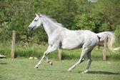 White English Thoroughbred horse running in paddock — Stock Photo