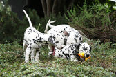 Dalmatiner valpar leker i trädgården — Stockfoto
