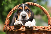 Adorable puppy of basset hound in a basket — Photo