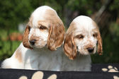 Gorgeous English Cocker Spaniel puppies sitting — Foto de Stock