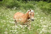 Nice haflinger running in freedom — 图库照片