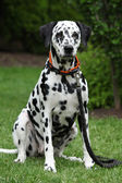 Beautiful dalmatian bitch sitting and looking at you — Stock Photo