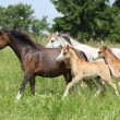 Mares and foals running on pasturage — Stock Photo