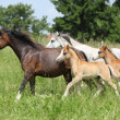Stock Photo: Mares and foals running on pasturage