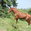 Stock Photo: Nice young horse running uphill