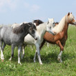 Stock Photo: Welsh ponnies moving