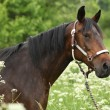 Stock Photo: Beautiful brown mare with halter