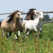 Stock Photo: Young welsh ponnies running together on pasturage
