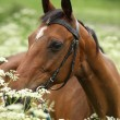 Beautiful brown mare with bridle — Stock Photo #25128203