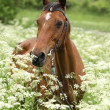 Stock Photo: Beautiful mare with bridle