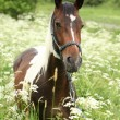 Stock Photo: Beautiful mare with rope halter