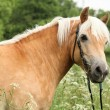 Gorgeous haflinger with bridle — Stock Photo #25128245