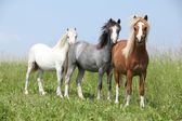 Welsh ponnies standing in the line — Stock Photo