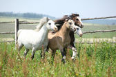Young welsh ponnies running together on pasturage — Stockfoto