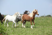 Welsh ponnies running together — Stockfoto