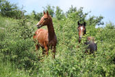 Two young horses hiding behind some bushes — 图库照片