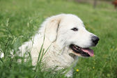 Pyrenean Mountain Dog lying in the grass — Stock Photo
