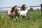 Jeune gallois ponnies fonctionnant ensemble sur pâturage — Photo