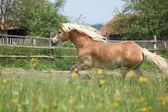 Chestnut haflinger running on pasturage — ストック写真