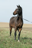Portrait of welsh part-bred mare with halter — Stock Photo