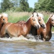 Stock Photo: Batch of haflingers in water