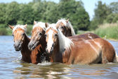 Batch of chestnut horses in water — Стоковое фото