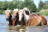 Batch of chestnut horses in water — Stockfoto