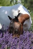Mottle miniature horse in purple flowers — Stock Photo