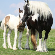 Nice irish cob mare with foal on pasturage — Stock Photo #28623165