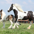 Nice irish cob mare with foal on pasturage — Stock Photo #28623345