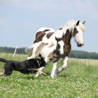 Irish cob mare runaway from the dog — Stock Photo #28623379