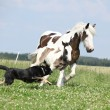 Irish cob mare runaway from the dog — Stock Photo