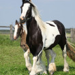 Nice irish cob mare with foal on pasturage — Stock Photo #28623451