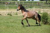 Joven galés corriendo montaña poni yegua — Foto de Stock