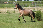 Young welsh mountain pony mare running — Stock Photo