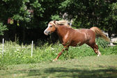 Chestnut welsh mountain pony stallion running — Stock Photo