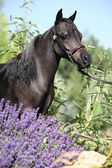 Black miniature horse behind purple flowers — Stock Photo