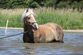 Young haflinger in the water — Zdjęcie stockowe