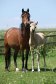 Brown mare with palomino foal on pasture — Stock Photo