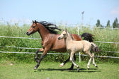 Welsh mountain pony mare with foal running — Stock Photo