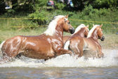 Batch of haflingers running in the wather — Stock Photo
